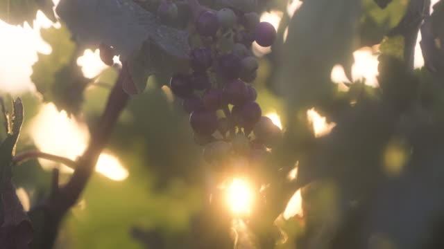 vídeos de stock e filmes b-roll de ripe blue grapes in the vineyard with sunlight - ramo parte de uma planta