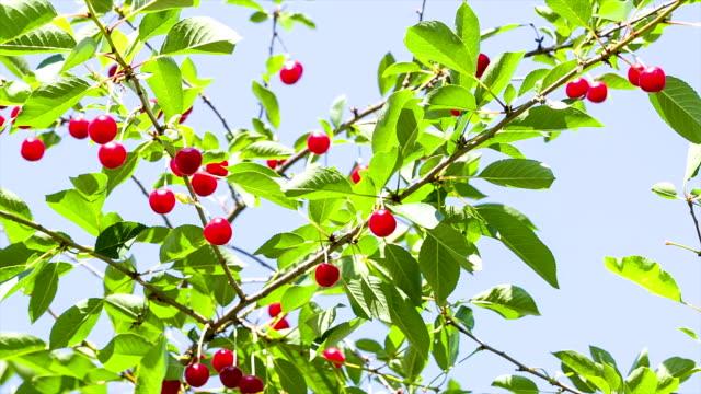 Ripe cherry on a background of blue sky.