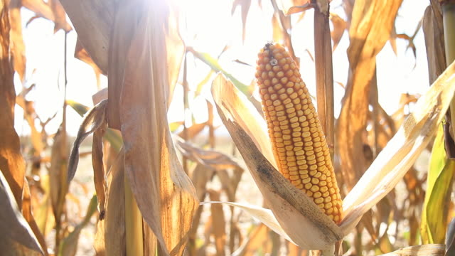 hd dolly: ripe corns on the cob - corn cob stock videos & royalty-free footage
