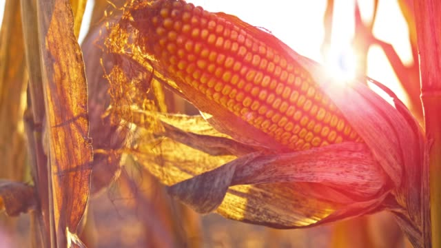 slo mo ripe ear of corn in sunshine - maize stock videos & royalty-free footage