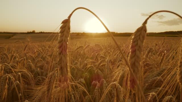 slo mo ripe ears of rye in a field - organic farm stock videos & royalty-free footage