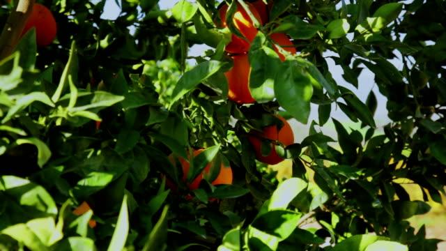 Ripe fruits on Orange tree