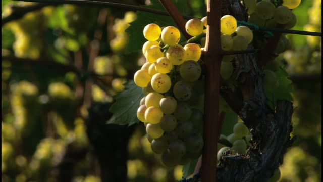 ripe fruits - wine cellar stock videos and b-roll footage