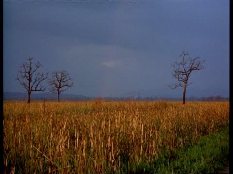 wa ripe golden field with bare trees, hazy horizon, india - bare tree stock-videos und b-roll-filmmaterial