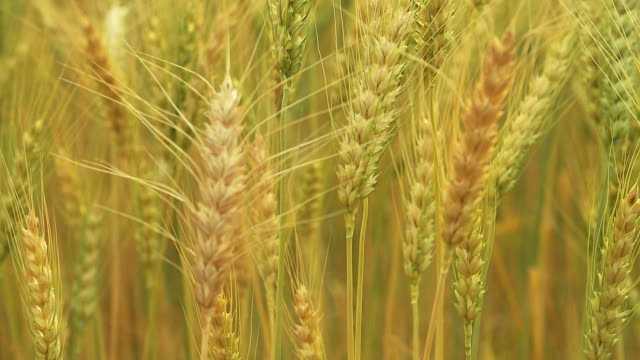 hd : ripe golden wheat field in sunset - husking stock videos & royalty-free footage