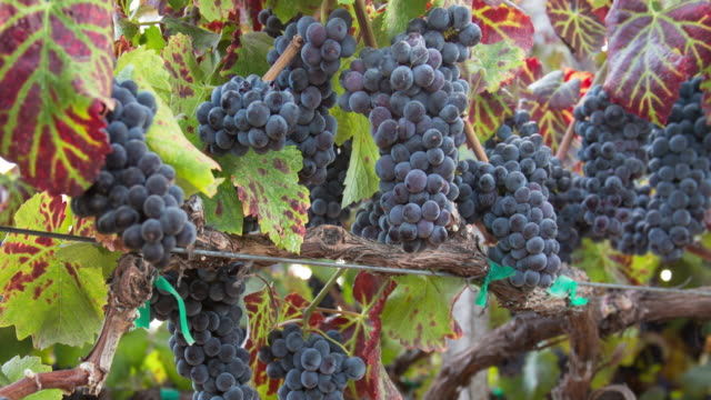 ripe grape clusters on the vine. a vineyard ready for harvest. - ripe stock videos & royalty-free footage