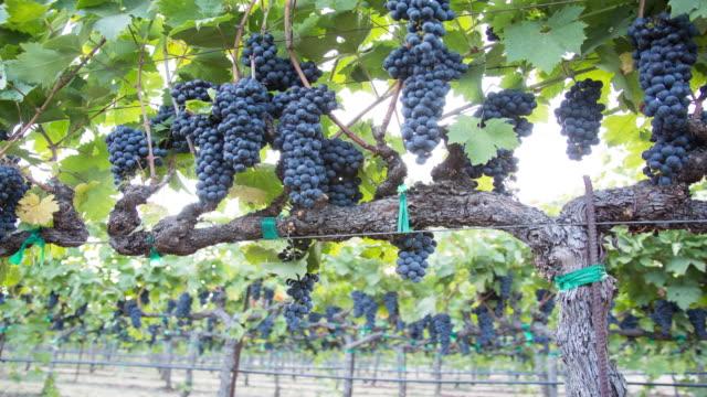 vídeos y material grabado en eventos de stock de maduros racimos de uva en la vid. un viñedo listo para la cosecha. - uva cabernet sauvignon