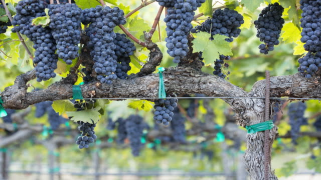ripe grape clusters on the vine. a vineyard ready for harvest. - vineyard stock videos & royalty-free footage