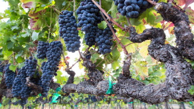 ripe grape clusters on the vine. a vineyard ready for harvest. - napa california video stock e b–roll