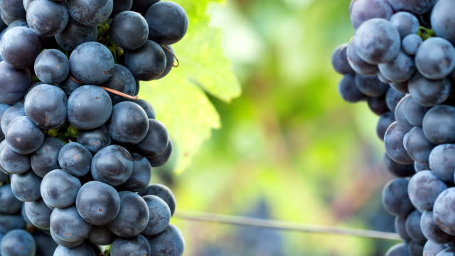 ripe grape clusters on the vine. close-up macro background with copy space. - vineyard stock videos & royalty-free footage