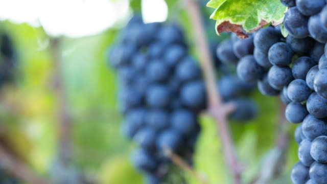 Ripe Grape Clusters on the Vine. Close-up Macro.
