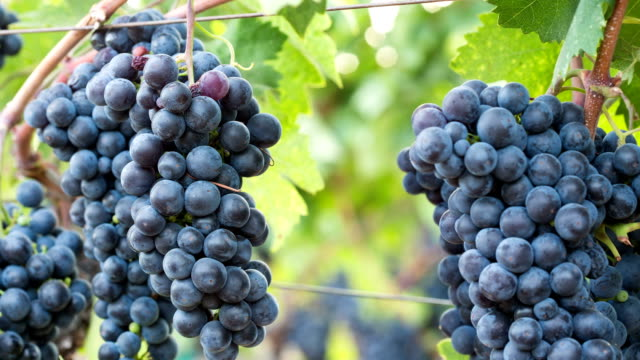 ripe grape clusters on the vine. close-up macro. - vine stock videos & royalty-free footage