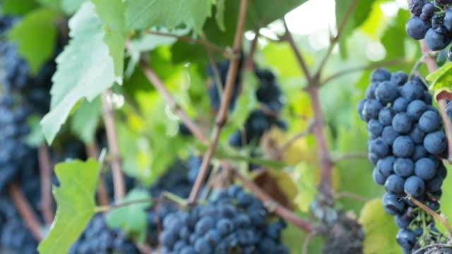 vídeos y material grabado en eventos de stock de maduros racimos de uva en la vid. close-up. - hoja de la vid