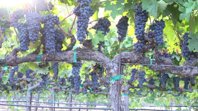 ripe grape clusters on the vine - winemaking stock videos & royalty-free footage