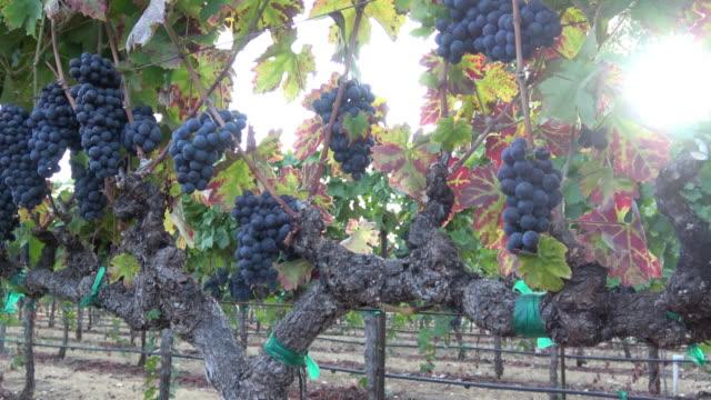 vídeos y material grabado en eventos de stock de maduros racimos de uva en la vid - uva cabernet sauvignon