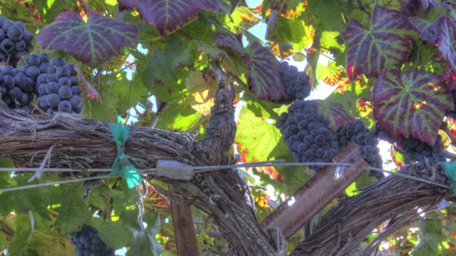 ripe grape clusters on the vine - cabernet sauvignon grape stock videos and b-roll footage