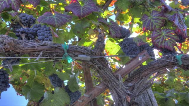 Ripe Grape Clusters on the Vine
