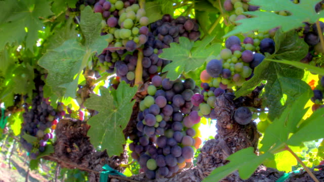 Ripe Grape Clusters