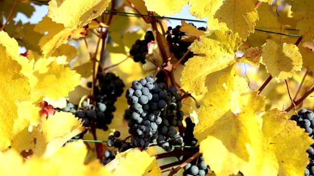 vídeos de stock, filmes e b-roll de uvas maduras sobre vine - grape leaf