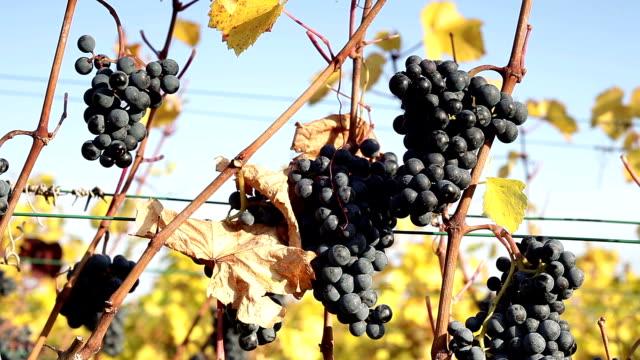 Ripe grapes on vine