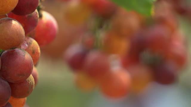 熟したブドウ - 数個の物点の映像素材/bロール