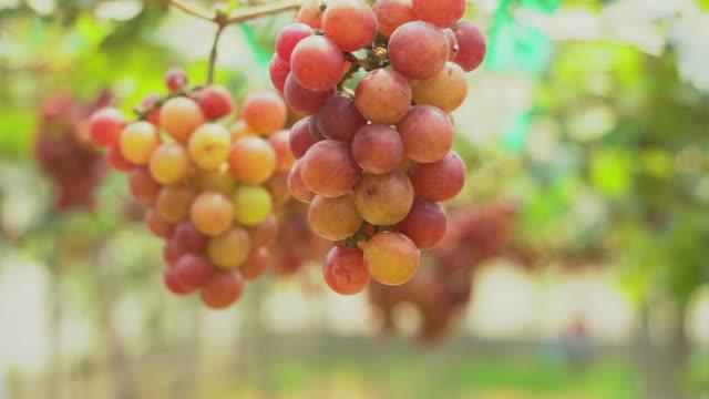 ripe grapes - grape stock videos & royalty-free footage