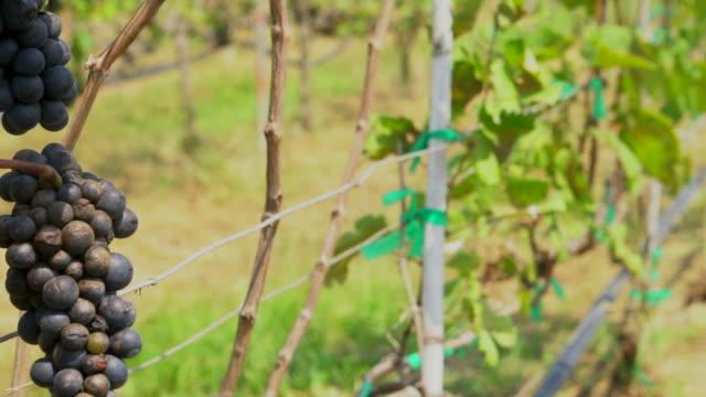 vídeos y material grabado en eventos de stock de uvas maduras - grupo mediano de objetos