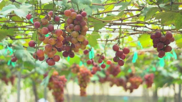vidéos et rushes de raisins mûrs - plante grimpante