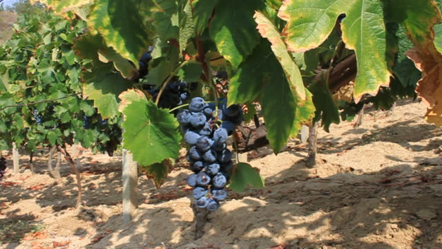 ripe grapes - secateurs stock videos & royalty-free footage