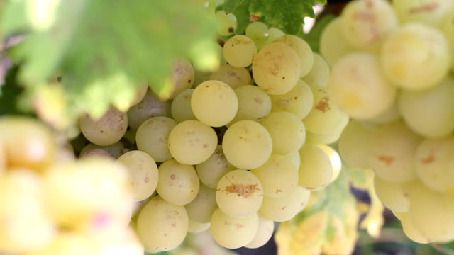 ripe grapes - grape leaf stock videos and b-roll footage