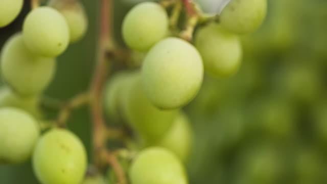 vídeos de stock e filmes b-roll de ripe green grapes in the vineyard - ramo parte de uma planta