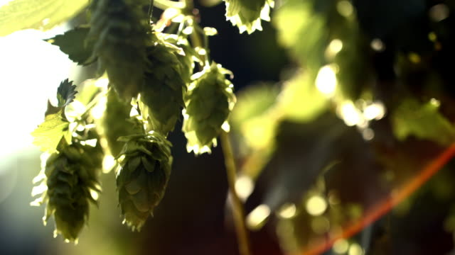 ripe hop cones in the sunlight - pine cone stock videos and b-roll footage