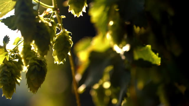 ripe hop cones in the sunlight - bavaria stock videos & royalty-free footage
