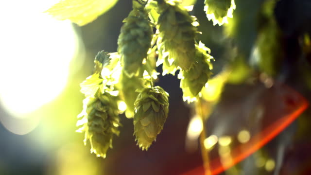 ripe hop cones in the sunlight - hops crop stock videos and b-roll footage