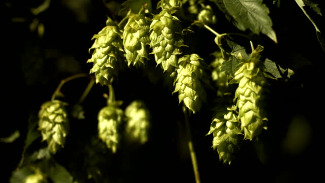 ripe hop flowers in the sunlight close-up (4k/uhd to hd) - hops crop stock videos and b-roll footage