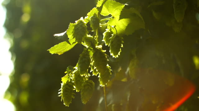 Ripe Hop Flowers In The Sunlight Close-up (4K/UHD to HD)