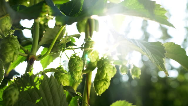 ripe hops cones in late summer - panning stock videos & royalty-free footage