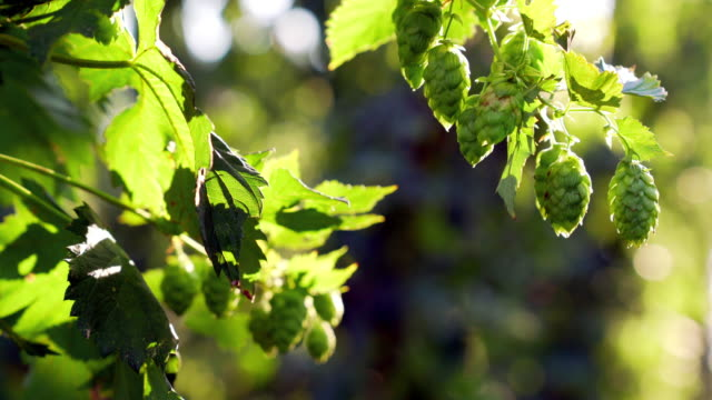 ripe hops cones in late summer - landscaped stock videos & royalty-free footage