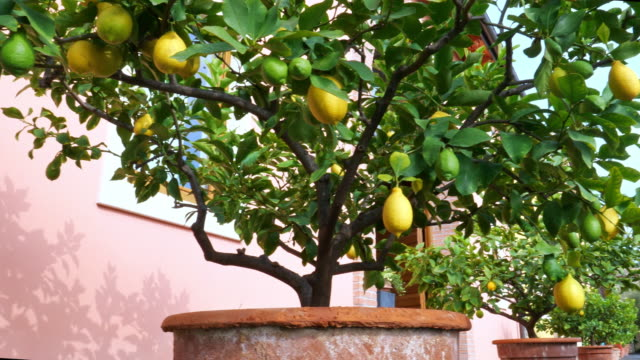 ripe lemons on the tree - bush stock videos & royalty-free footage