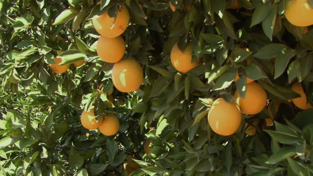 cu ripe oranges on tree / nelspruit, south africa - mpumalanga province stock videos and b-roll footage