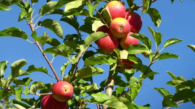 ripe organic apples in an orchard tilt up - fruit tree stock videos & royalty-free footage