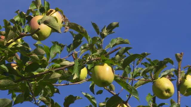CU PAN Ripe Organic Golden Delicious Apples Against Blue Sky