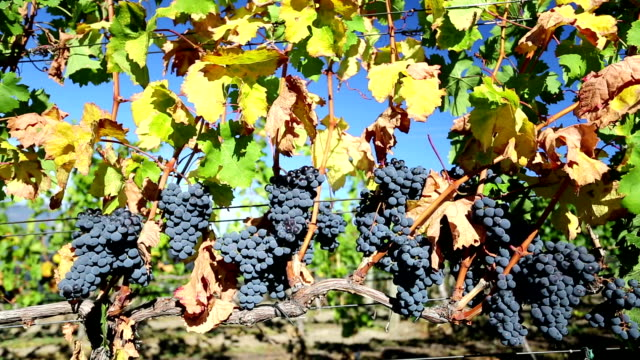 Ripe Organic Merlot Grapes Okanagan Valley