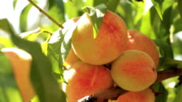 Ripe peaches on a branch