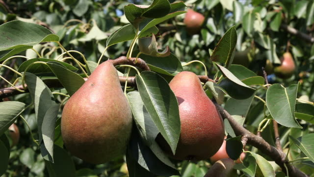 Ripe pears ready for harvest