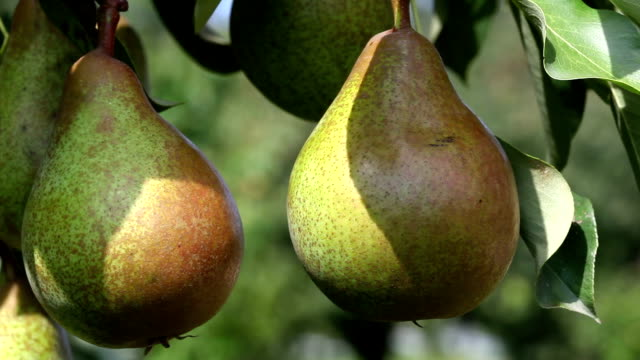 ripe pears - pear stock videos & royalty-free footage