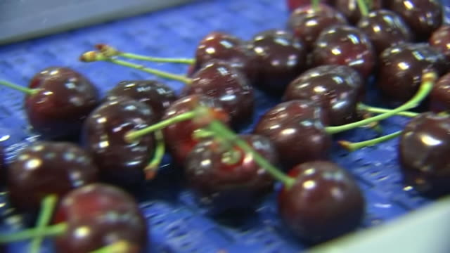 ripe picked cherries processing along cherry orchard production line during harvest, central otago, new zealand. - orchard stock videos & royalty-free footage