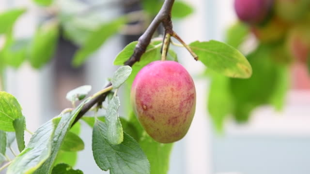 a ripe plum growing on a tree - plum stock videos & royalty-free footage