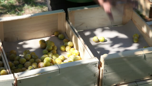 ripe plums tipping in to crates at harvest time, close up, ardeche, france - plum stock videos & royalty-free footage