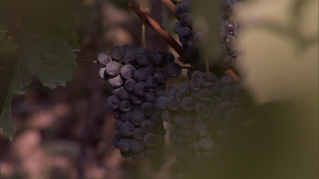 ripe, purple grapes hang from a vine. - rankenpflanze stock-videos und b-roll-filmmaterial